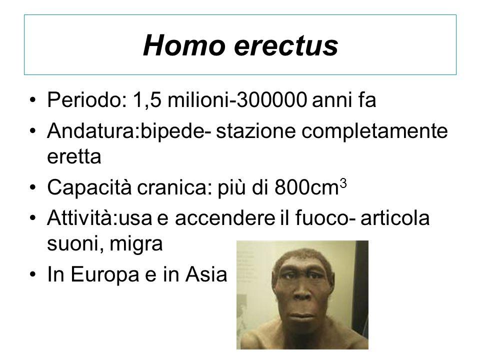 Homo erectus Periodo: 1,5 milioni-300000 anni fa Andatura:bipede- stazione completamente eretta Capacità cranica: più di 800cm 3 Attività:usa e accend