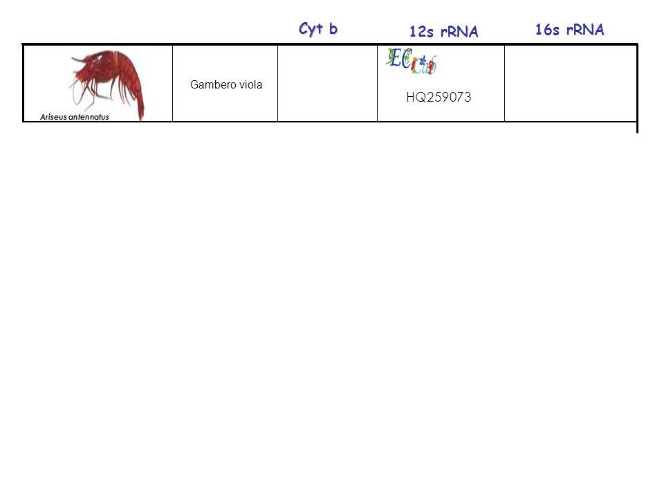 HQ259073 Ariseus antennatus 12s rRNA 16s rRNA Cyt b Gambero viola