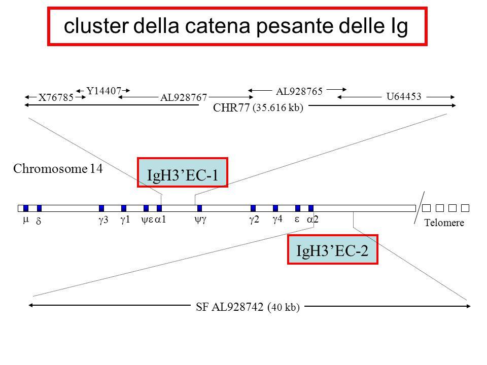 Chromosome 14 cluster della catena pesante delle Ig IgH3'EC-2 Telomere   33 11 22 44 11   22 SF AL928742 ( 40 kb) CHR77 (35.616 kb)
