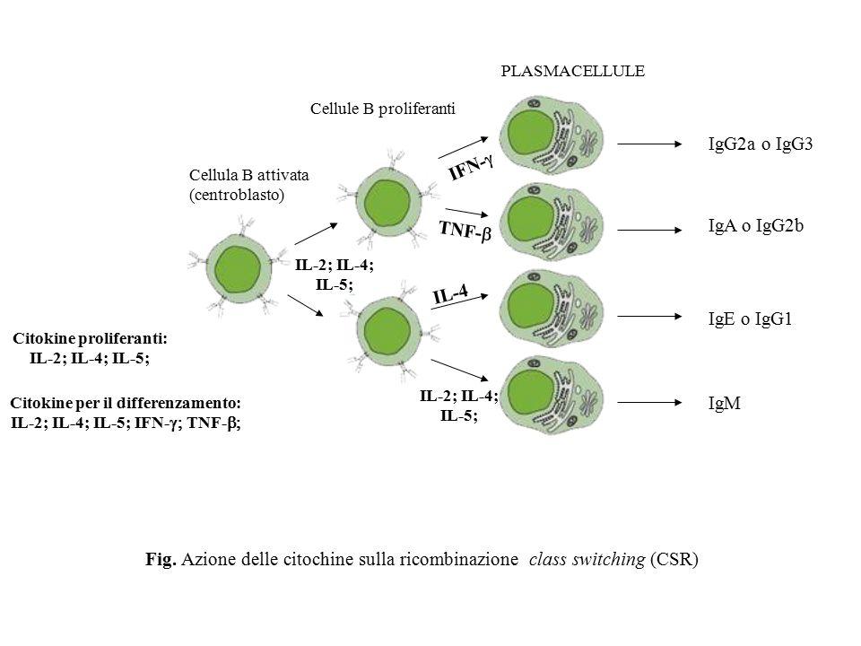 PLASMACELLULE Cellule B proliferanti Cellula B attivata (centroblasto) IL-2; IL-4; IL-5; IgG2a o IgG3 IgA o IgG2b IgE o IgG1 IgM IFN-  IL-4 TNF-  IL