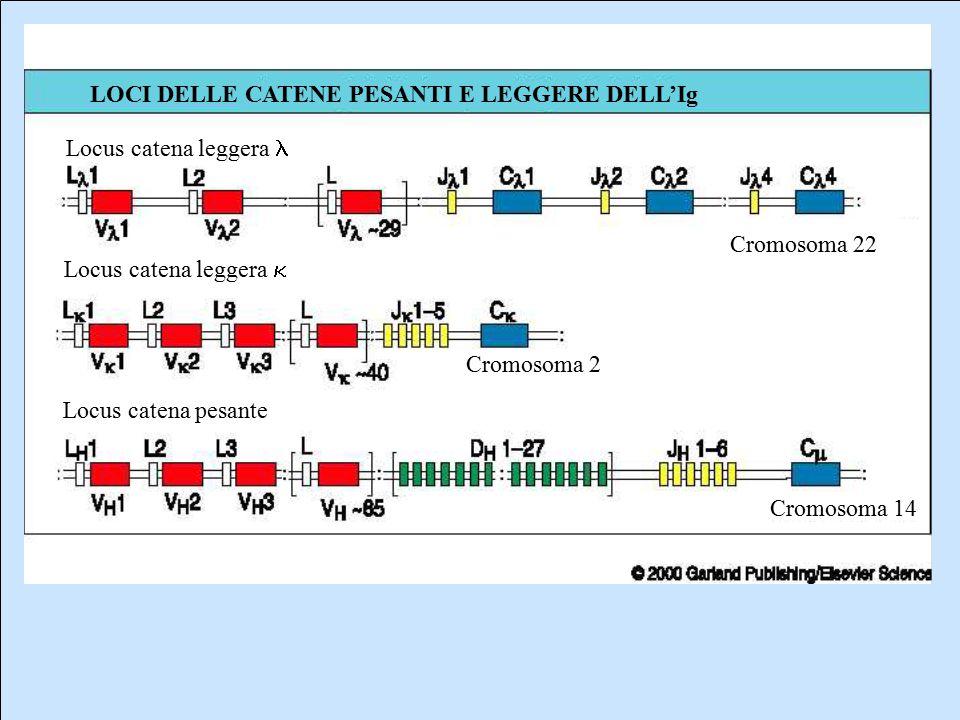 Locus catena leggera Locus catena leggera  Locus catena pesante Cromosoma 22 Cromosoma 2 Cromosoma 14 LOCI DELLE CATENE PESANTI E LEGGERE DELL'Ig
