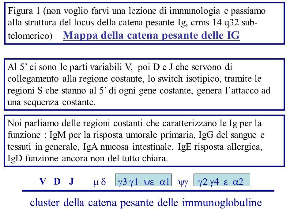 Figura 1 (non voglio farvi una lezione di immunologia e passiamo alla struttura del locus della catena pesante Ig, crms 14 q32 sub- telomerico) Mappa