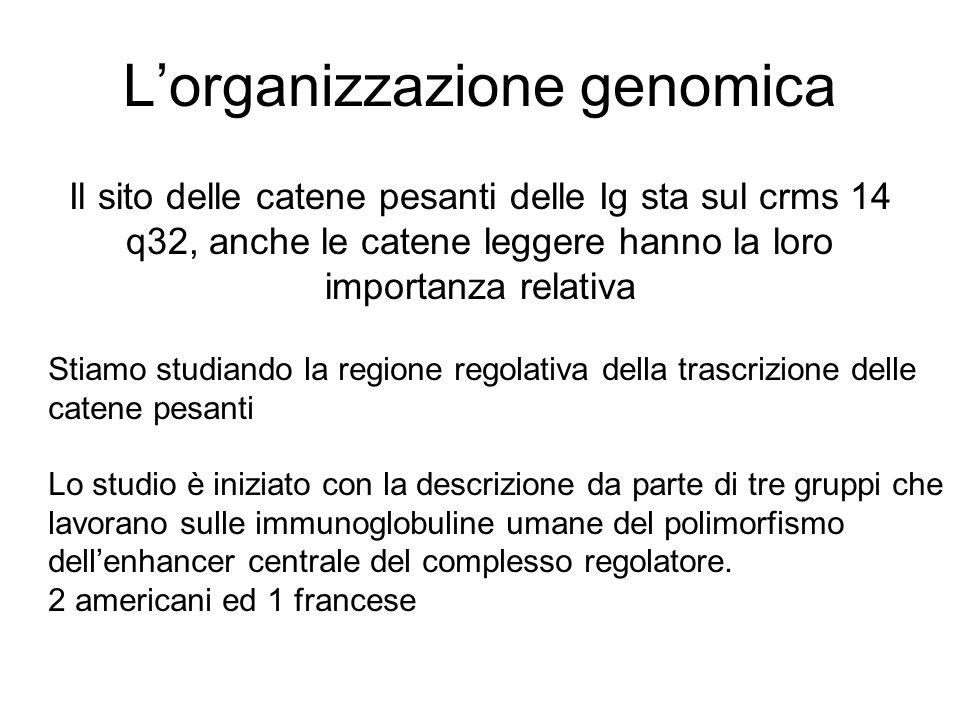 L'organizzazione genomica Il sito delle catene pesanti delle Ig sta sul crms 14 q32, anche le catene leggere hanno la loro importanza relativa Stiamo