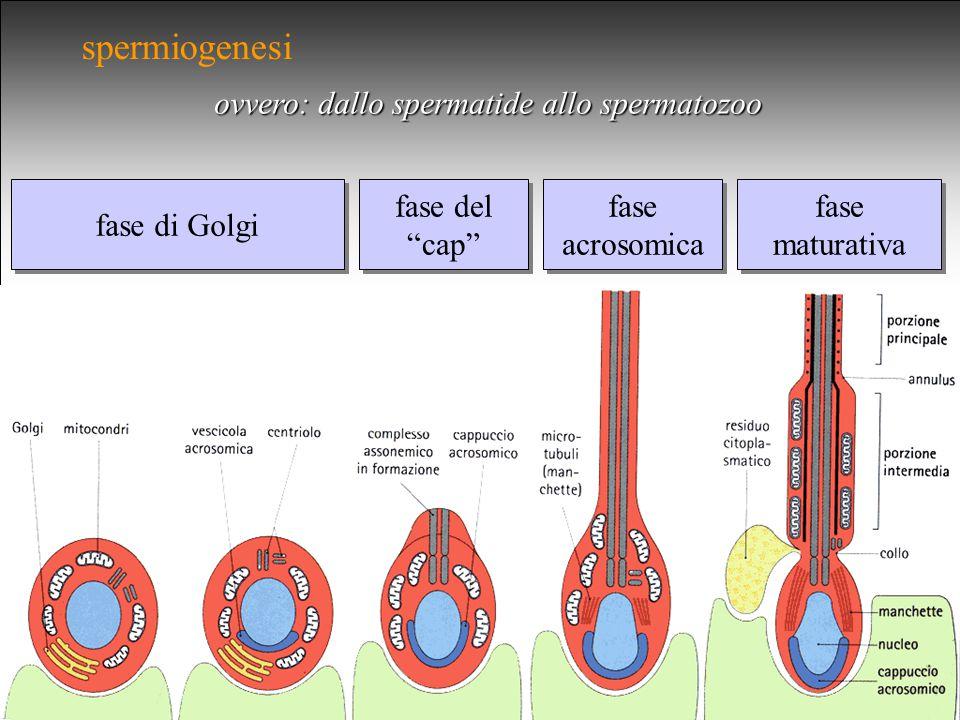 spermiogenesi ovvero: dallo spermatide allo spermatozoo fase di Golgi fase del cap fase del cap fase acrosomica fase acrosomica fase maturativa fase maturativa