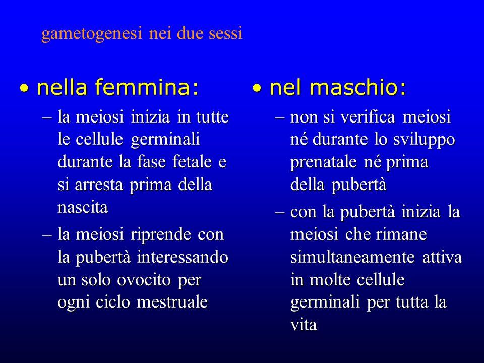 gametogenesi nei due sessi nella femmina:nella femmina: –la meiosi inizia in tutte le cellule germinali durante la fase fetale e si arresta prima della nascita –la meiosi riprende con la pubertà interessando un solo ovocito per ogni ciclo mestruale nel maschio:nel maschio: –non si verifica meiosi né durante lo sviluppo prenatale né prima della pubertà –con la pubertà inizia la meiosi che rimane simultaneamente attiva in molte cellule germinali per tutta la vita