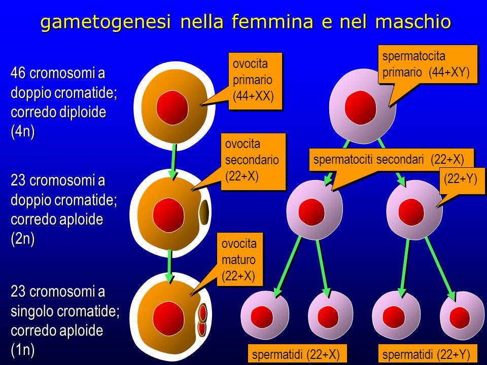 i numeri del cariotipo umano fase del ciclo cellularenumero di cromosomi cromatidi per cromosoma corredon* acellule somatiche in G 0 -G 1 461diploide2n b cellule somatiche in G 2 ; ovocita e spermatocita primario 462diploide4n c ovocita e spermatocita secondario 232aploide2n d ovocita maturo; spermatide e spermatozoo 231aploide1n a)prima della duplicazione del DNA b)interfase precedente la mitosi e la prima divisione meiotica c)con la prima divisione meiotica i cromosomi omologhi si separano nelle due cellule figlie d)l'ovocita maturo ha una vita brevissima… *dove n=23 nella specie umana Note