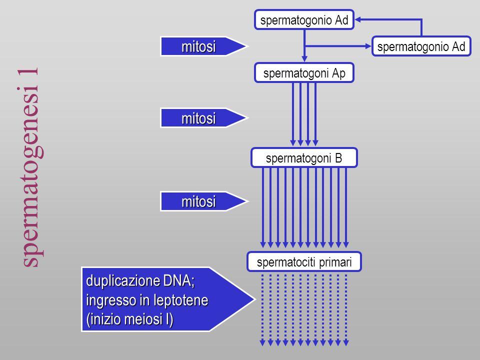 spermatogenesi 1 spermatogonio Ad spermatogoni Ap spermatogoni B spermatociti primari spermatogonio Ad mitosi mitosi duplicazione DNA; ingresso in leptotene (inizio meiosi I) mitosi