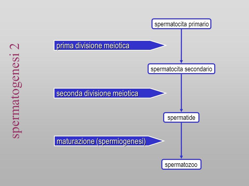 sommario spermatogenesi Spermatocito- genesi Spermatogoni AdMitosi Spermatogoni Ad – ApMitosi Spermatogoni BMitosi Replicazione del DNA  4n Spermatociti primari1 a divisione meiotica  2n Spermatociti secondari 2 a divisione meiotica  1n Spermio- genesi SpermatidiMaturazione Spermatozoi