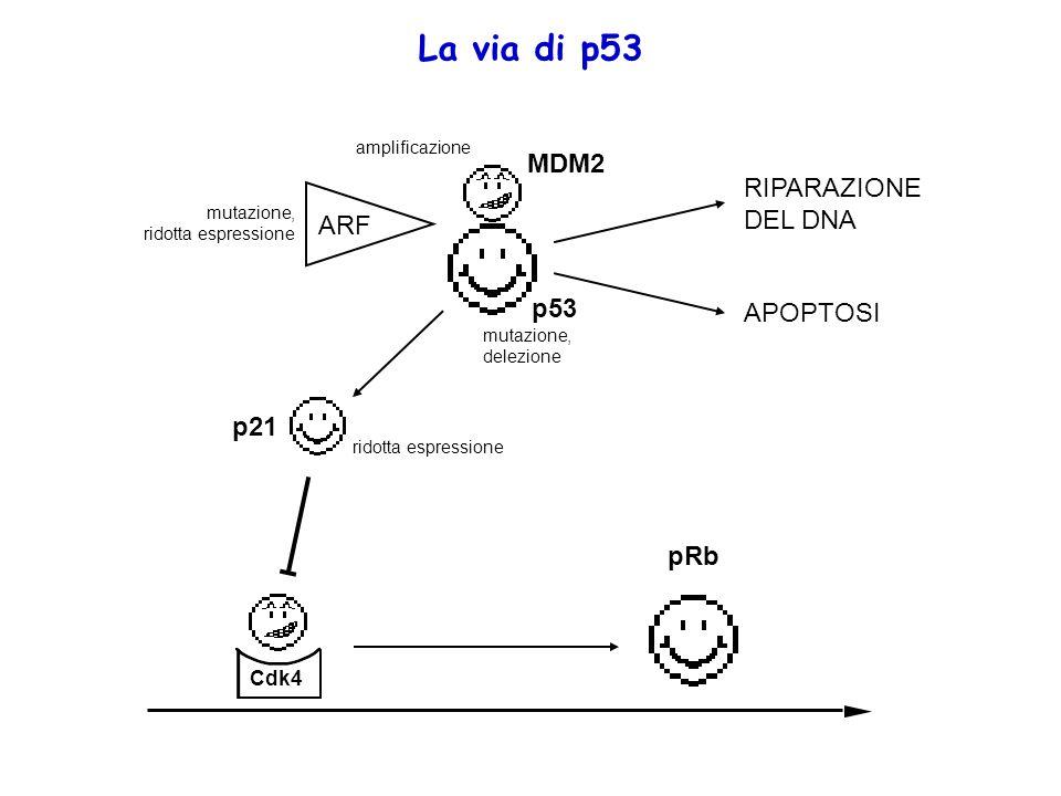 La via di p53 Cdk4 pRb p53 MDM2 RIPARAZIONE DEL DNA APOPTOSI ARF p21 amplificazione mutazione, ridotta espressione mutazione, delezione