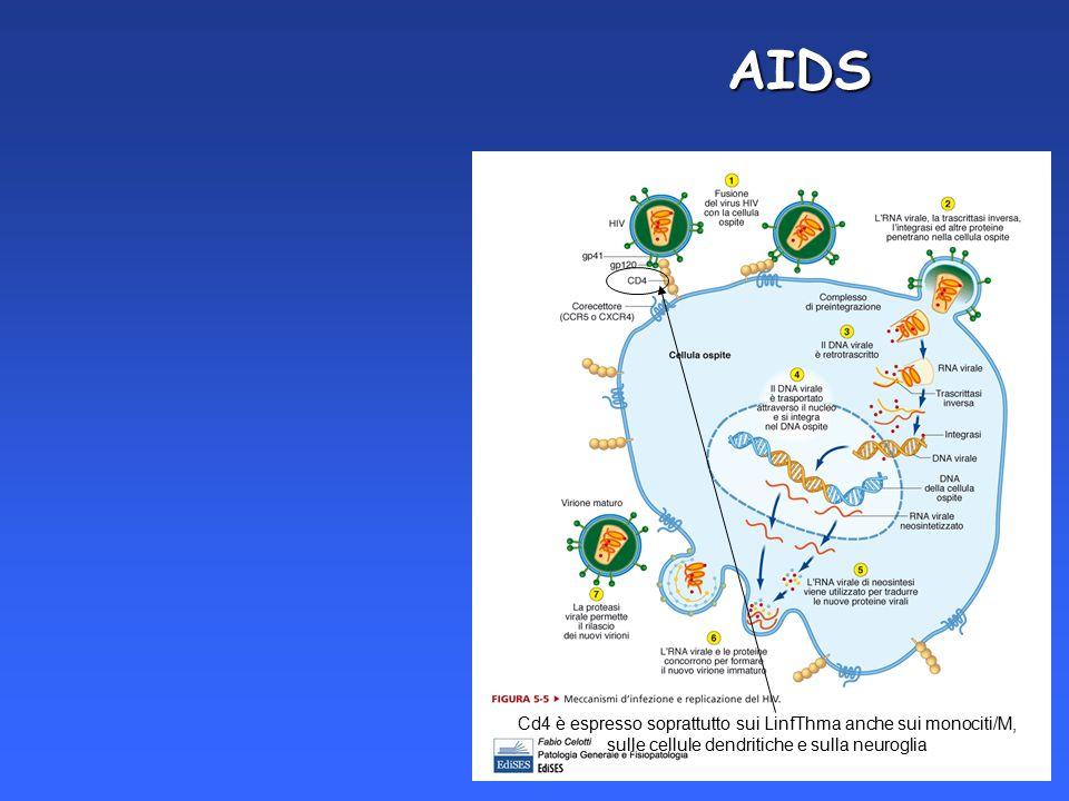 AIDS Cd4 è espresso soprattutto sui LinfThma anche sui monociti/M, sulle cellule dendritiche e sulla neuroglia