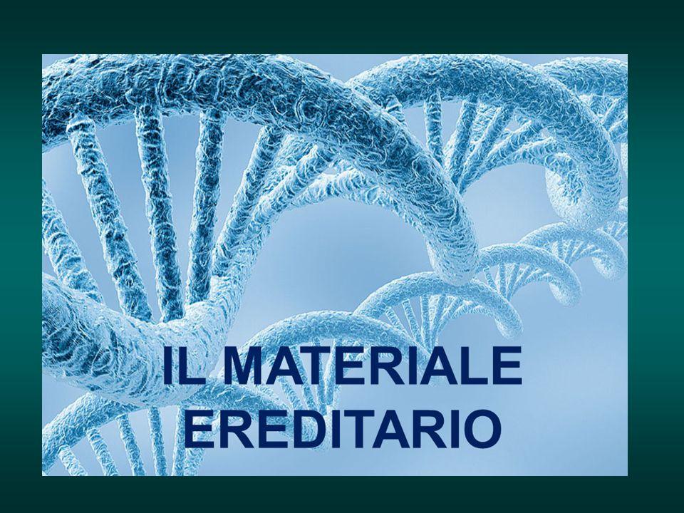 Durante la duplicazione le due catene di DNA si separano, servendo ognuna come stampo per la costruzione di una nuova catena.