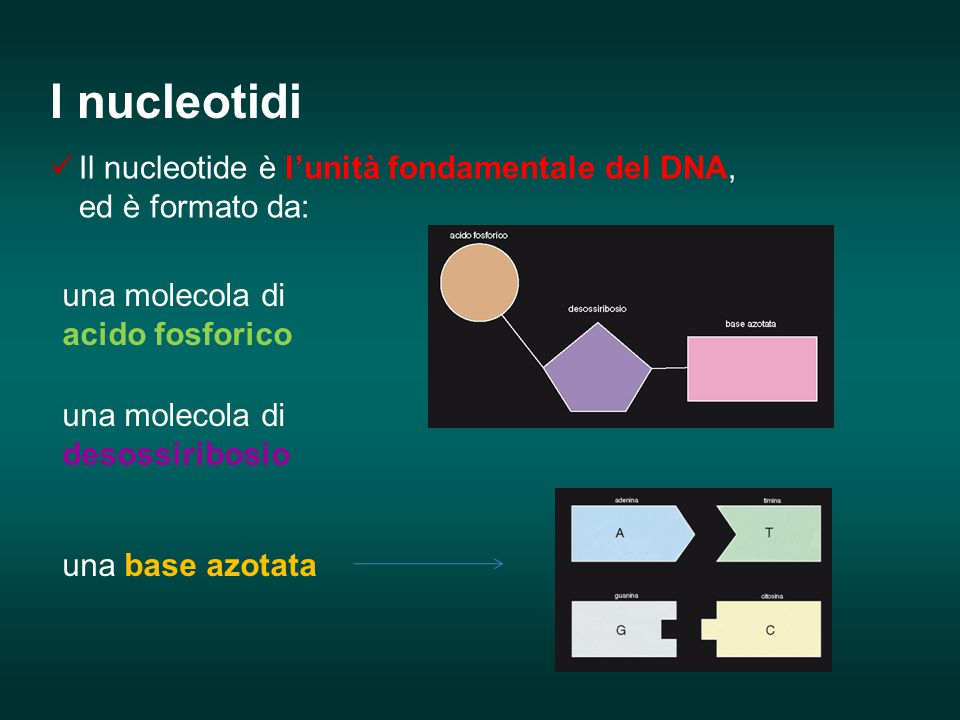 Il nucleotide è l'unità fondamentale del DNA, ed è formato da: una molecola di acido fosforico una molecola di desossiribosio una base azotata I nucle