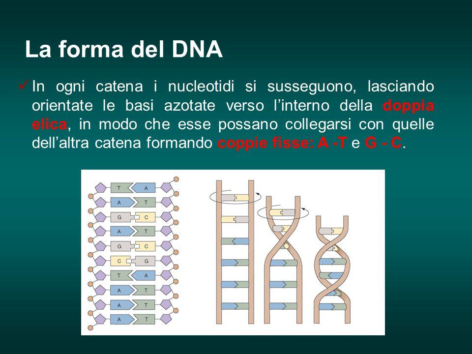 In ogni catena i nucleotidi si susseguono, lasciando orientate le basi azotate verso l'interno della doppia elica, in modo che esse possano collegarsi