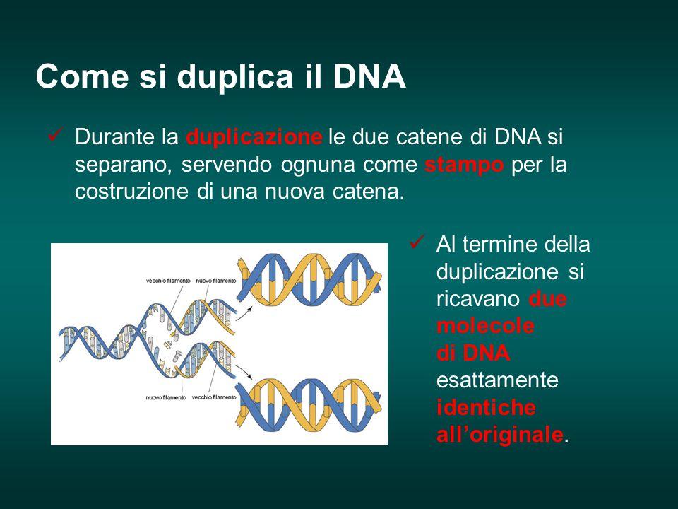 Durante la duplicazione le due catene di DNA si separano, servendo ognuna come stampo per la costruzione di una nuova catena. Al termine della duplica
