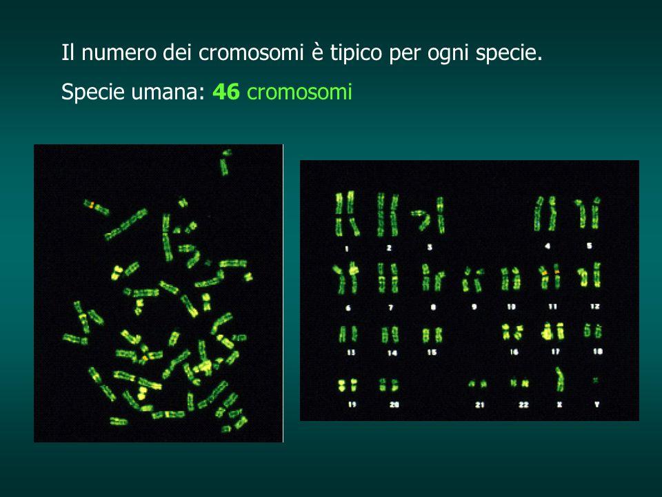 Il numero dei cromosomi è tipico per ogni specie. Specie umana: 46 cromosomi