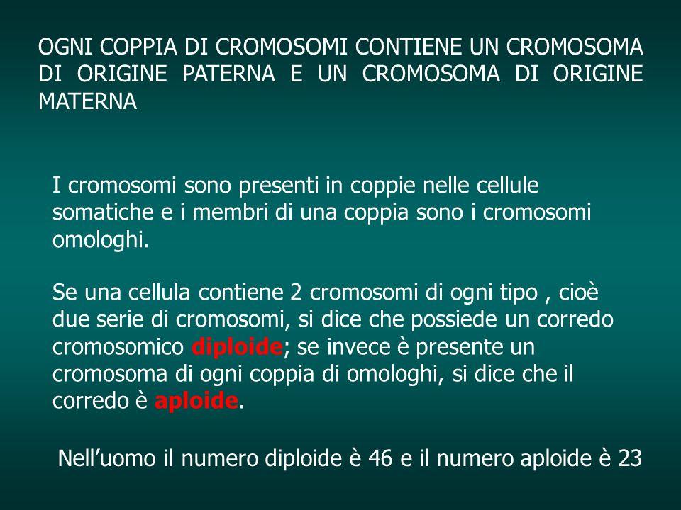 OGNI COPPIA DI CROMOSOMI CONTIENE UN CROMOSOMA DI ORIGINE PATERNA E UN CROMOSOMA DI ORIGINE MATERNA I cromosomi sono presenti in coppie nelle cellule
