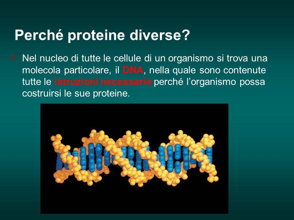 Perché proteine diverse? Nel nucleo di tutte le cellule di un organismo si trova una molecola particolare, il DNA, nella quale sono contenute tutte le