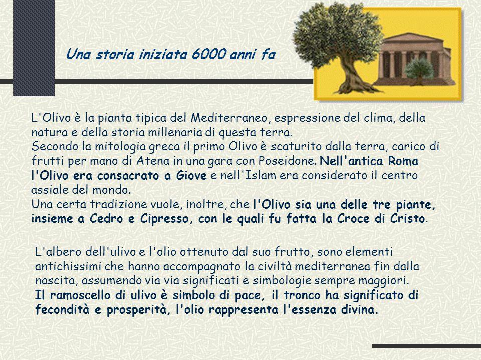 La Struttura dell Oliva ed il contenuto in Olio Esocarpo – Buccia (la membrana esterna, liscia, coperta da una sostanza cerosa) : 1% Mesocarpo – Polpa (contiene la maggior quantità d'olio oltre all'acqua) : 70% Endocarpo – Nocciolo (guscio legnoso che racchiude il seme o mandorla) : 29% Olio di oliva Si estrae dai frutti di numerose varietà di piante del genere Olea, in particolare della specie Olea Europea (famiglia Oleacee), pianta coltivata nel bacino del Mediterraneo fin dai tempi delle piu' antiche civiltà.