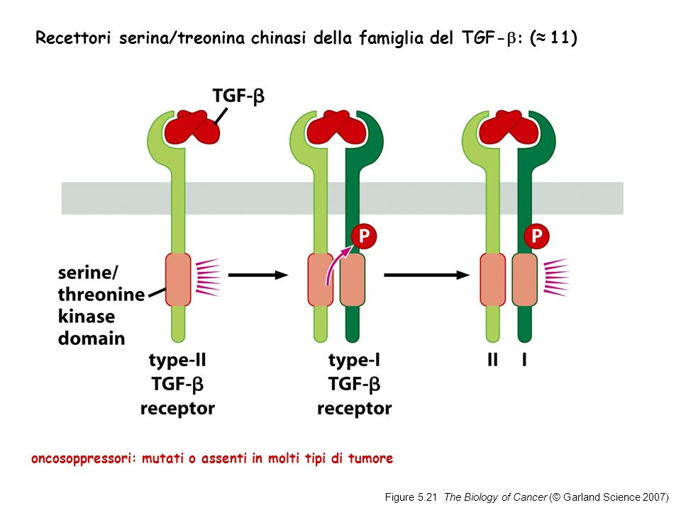 Figure 5.21 The Biology of Cancer (© Garland Science 2007) Recettori serina/treonina chinasi della famiglia del TGF-  : ( ≈ 11) oncosoppressori: mutati o assenti in molti tipi di tumore