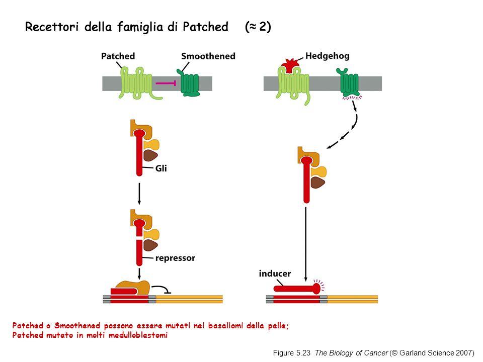 Figure 5.23 The Biology of Cancer (© Garland Science 2007) Recettori della famiglia di Patched ( ≈ 2) Patched o Smoothened possono essere mutati nei basaliomi della pelle; Patched mutato in molti medulloblastomi