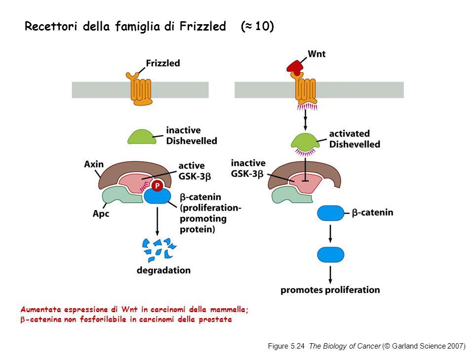 Figure 5.24 The Biology of Cancer (© Garland Science 2007) Recettori della famiglia di Frizzled ( ≈ 10) Aumentata espressione di Wnt in carcinomi della mammella;  -catenina non fosforilabile in carcinomi della prostata