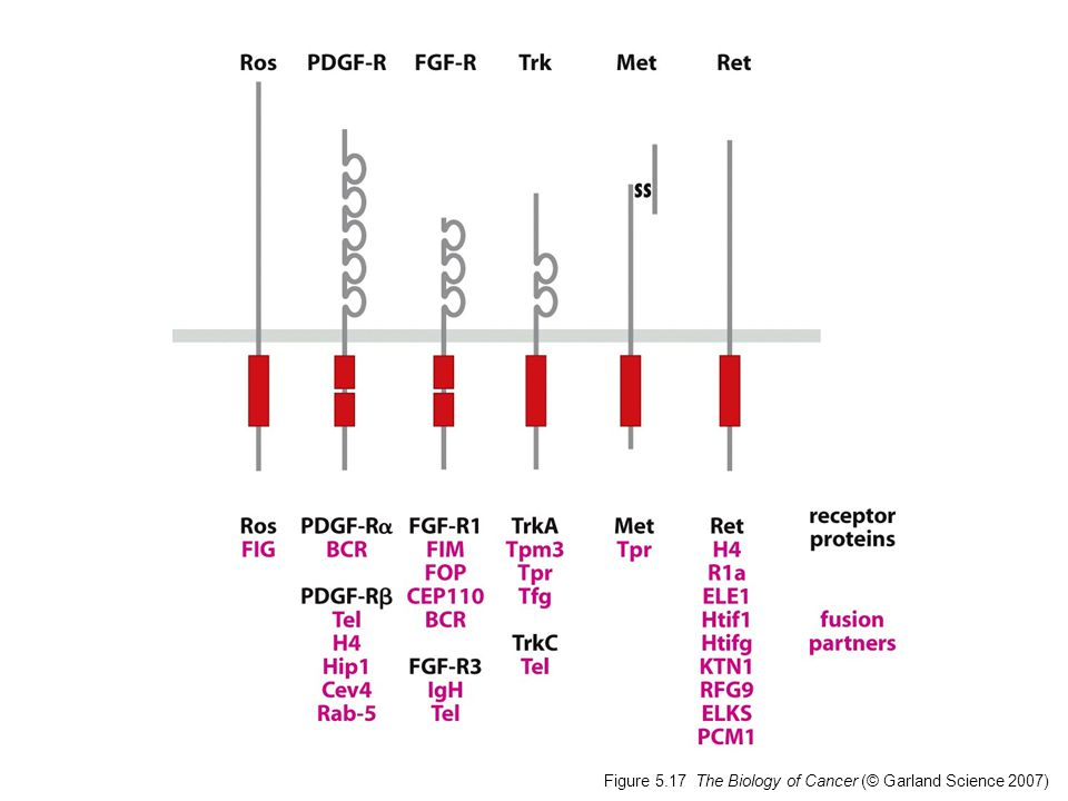 Figure 5.17 The Biology of Cancer (© Garland Science 2007)