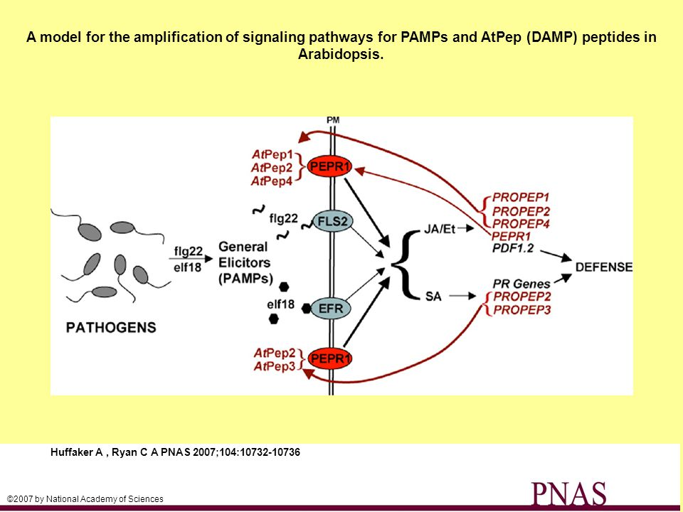A model for the amplification of signaling pathways for PAMPs and AtPep (DAMP) peptides in Arabidopsis.