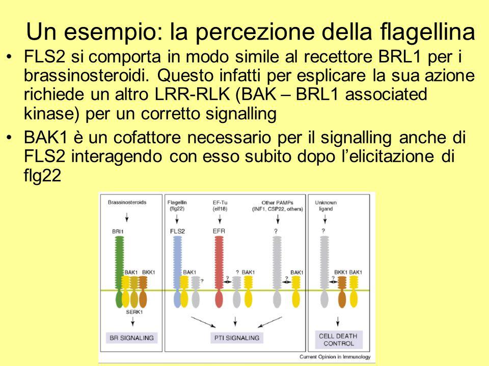 Un esempio: la percezione della flagellina FLS2 si comporta in modo simile al recettore BRL1 per i brassinosteroidi. Questo infatti per esplicare la s