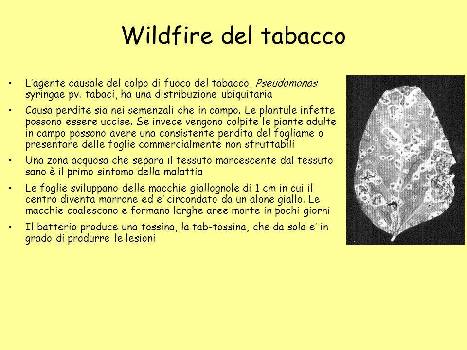 Wildfire del tabacco L'agente causale del colpo di fuoco del tabacco, Pseudomonas syringae pv. tabaci, ha una distribuzione ubiquitaria Causa perdite