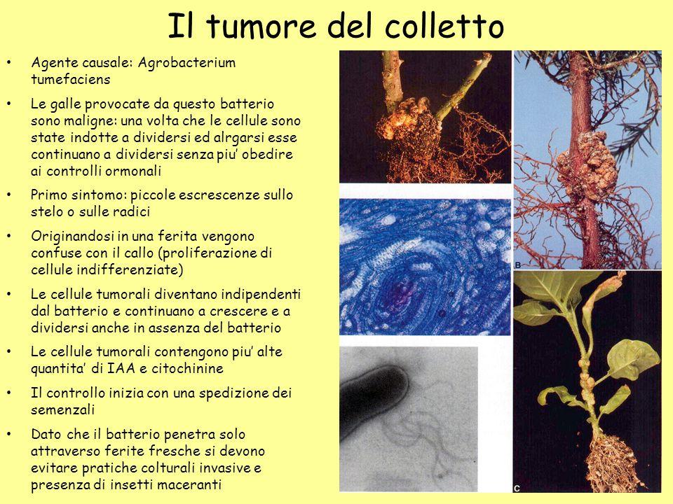Il tumore del colletto Agente causale: Agrobacterium tumefaciens Le galle provocate da questo batterio sono maligne: una volta che le cellule sono sta