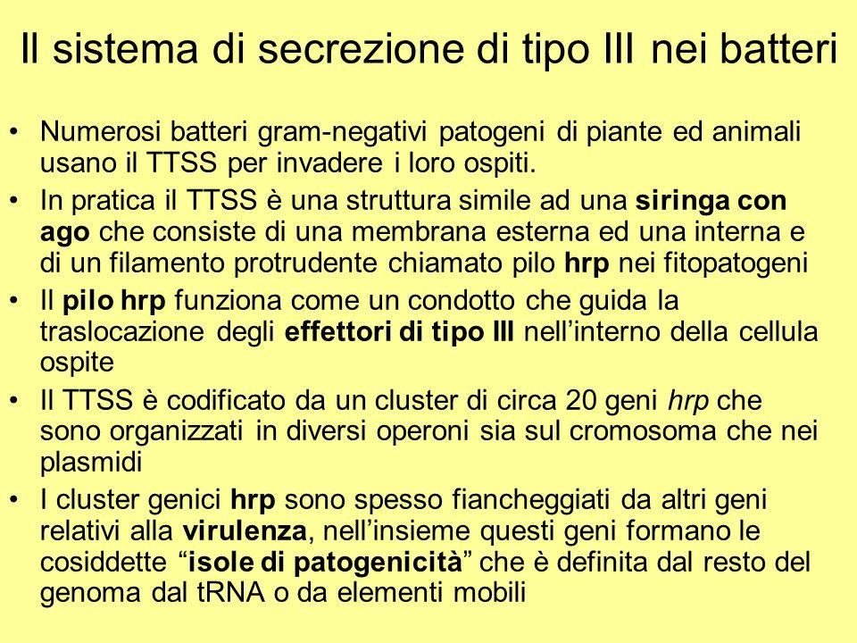 Il sistema di secrezione di tipo III nei batteri Numerosi batteri gram-negativi patogeni di piante ed animali usano il TTSS per invadere i loro ospiti
