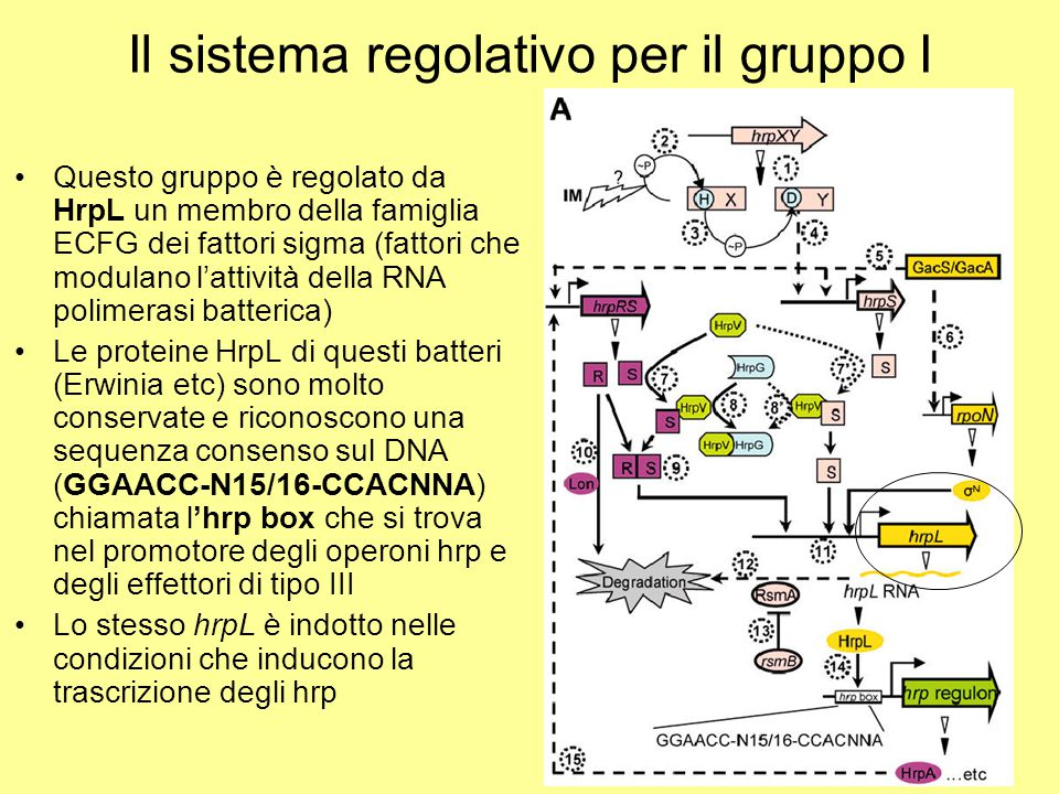 Il sistema regolativo per il gruppo I Questo gruppo è regolato da HrpL un membro della famiglia ECFG dei fattori sigma (fattori che modulano l'attivit