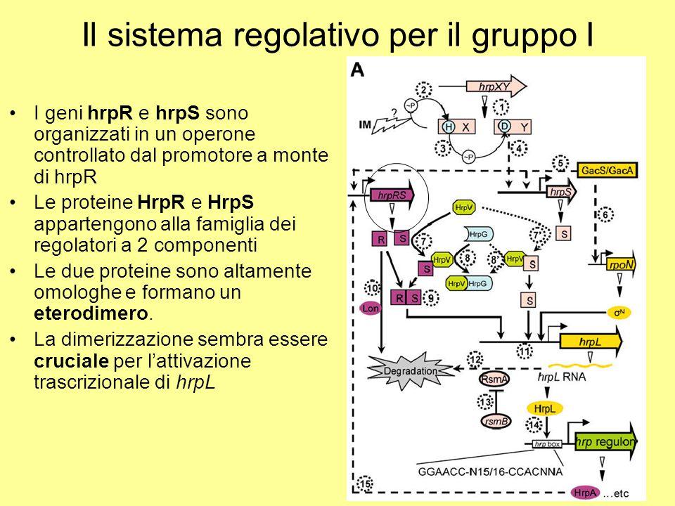 Il sistema regolativo per il gruppo I I geni hrpR e hrpS sono organizzati in un operone controllato dal promotore a monte di hrpR Le proteine HrpR e H