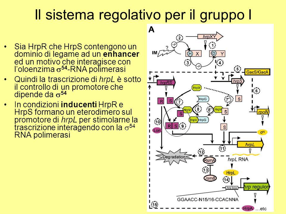 Il sistema regolativo per il gruppo I Sia HrpR che HrpS contengono un dominio di legame ad un enhancer ed un motivo che interagisce con l'oloenzima 