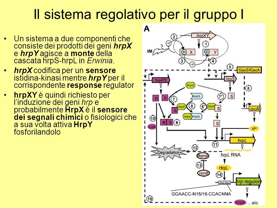 Il sistema regolativo per il gruppo I Un sistema a due componenti che consiste dei prodotti dei geni hrpX e hrpY agisce a monte della cascata hrpS-hrp