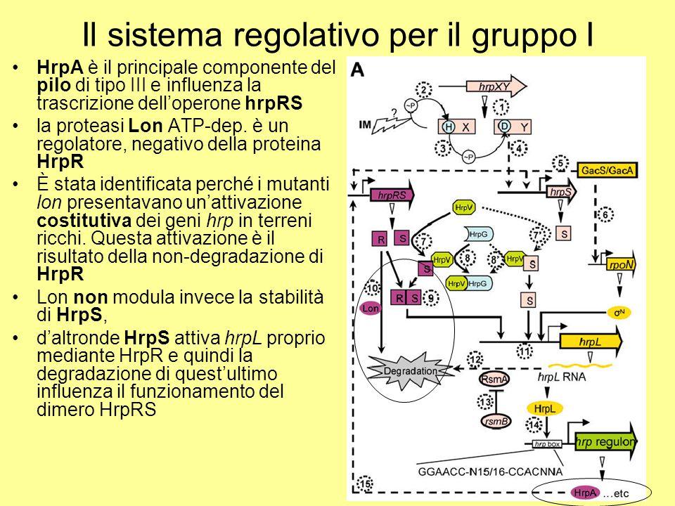 Il sistema regolativo per il gruppo I HrpA è il principale componente del pilo di tipo III e influenza la trascrizione dell'operone hrpRS la proteasi