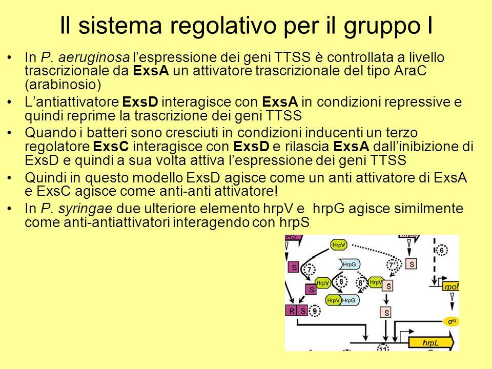 Il sistema regolativo per il gruppo I In P. aeruginosa l'espressione dei geni TTSS è controllata a livello trascrizionale da ExsA un attivatore trascr