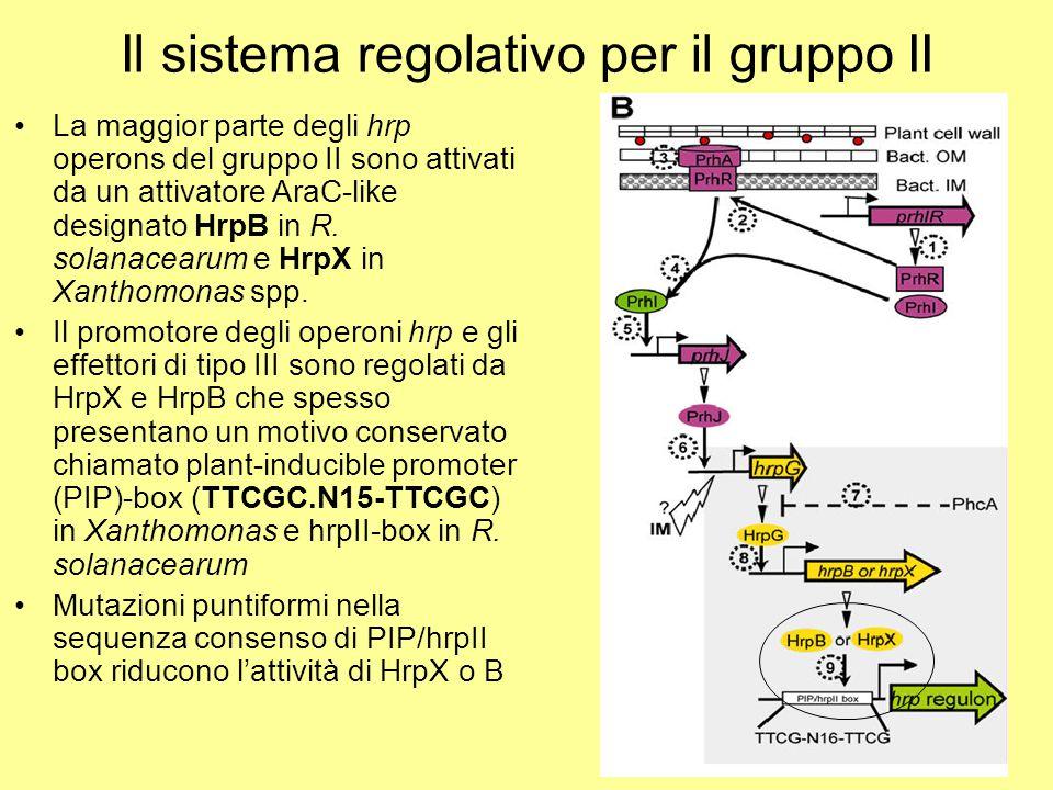 Il sistema regolativo per il gruppo II La maggior parte degli hrp operons del gruppo II sono attivati da un attivatore AraC-like designato HrpB in R.