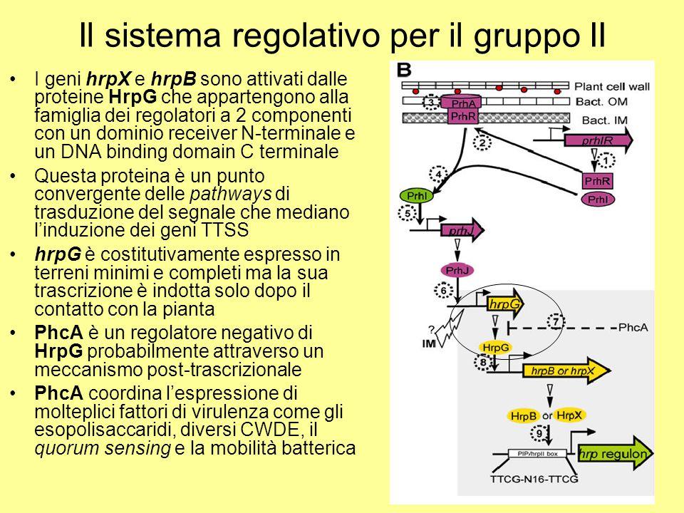 Il sistema regolativo per il gruppo II I geni hrpX e hrpB sono attivati dalle proteine HrpG che appartengono alla famiglia dei regolatori a 2 componen