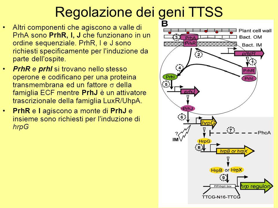 Regolazione dei geni TTSS Altri componenti che agiscono a valle di PrhA sono PrhR, I, J che funzionano in un ordine sequenziale. PrhR, I e J sono rich