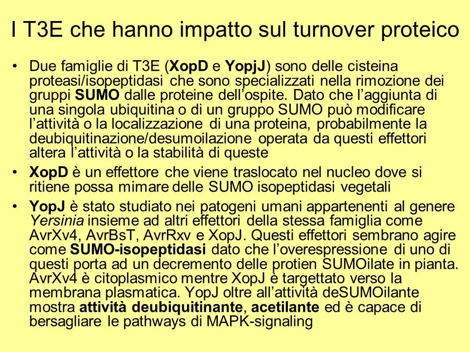 I T3E che hanno impatto sul turnover proteico Due famiglie di T3E (XopD e YopjJ) sono delle cisteina proteasi/isopeptidasi che sono specializzati nell