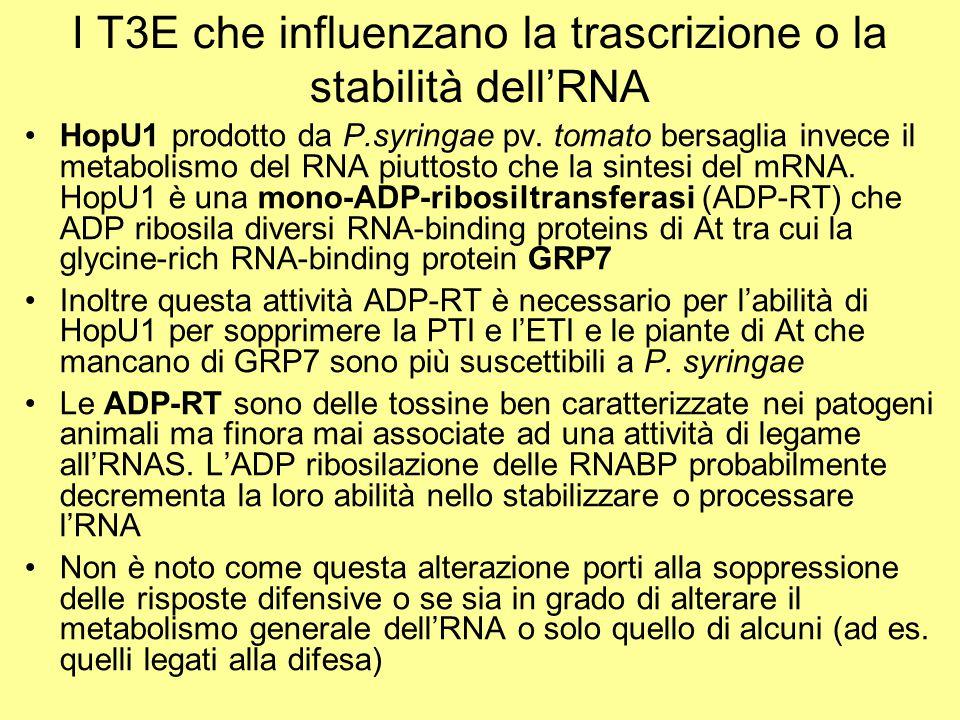 I T3E che influenzano la trascrizione o la stabilità dell'RNA HopU1 prodotto da P.syringae pv. tomato bersaglia invece il metabolismo del RNA piuttost