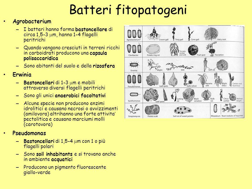 Batteri fitopatogeni Agrobacterium – I batteri hanno forma bastoncellare di circa 1,5-3  m, hanno 1-4 flagelli peritrichi – Quando vengono cresciuti