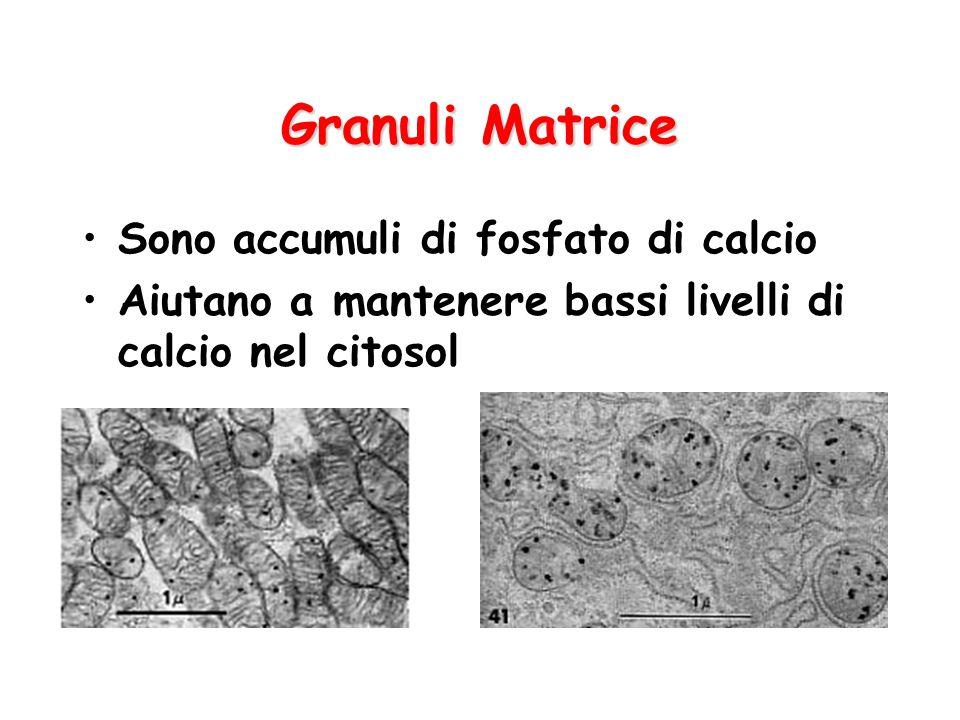 Granuli Matrice Sono accumuli di fosfato di calcio Aiutano a mantenere bassi livelli di calcio nel citosol