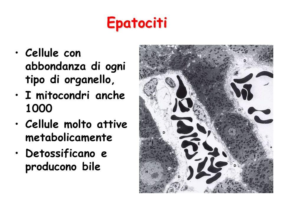 Epatociti Cellule con abbondanza di ogni tipo di organello, I mitocondri anche 1000 Cellule molto attive metabolicamente Detossificano e producono bil