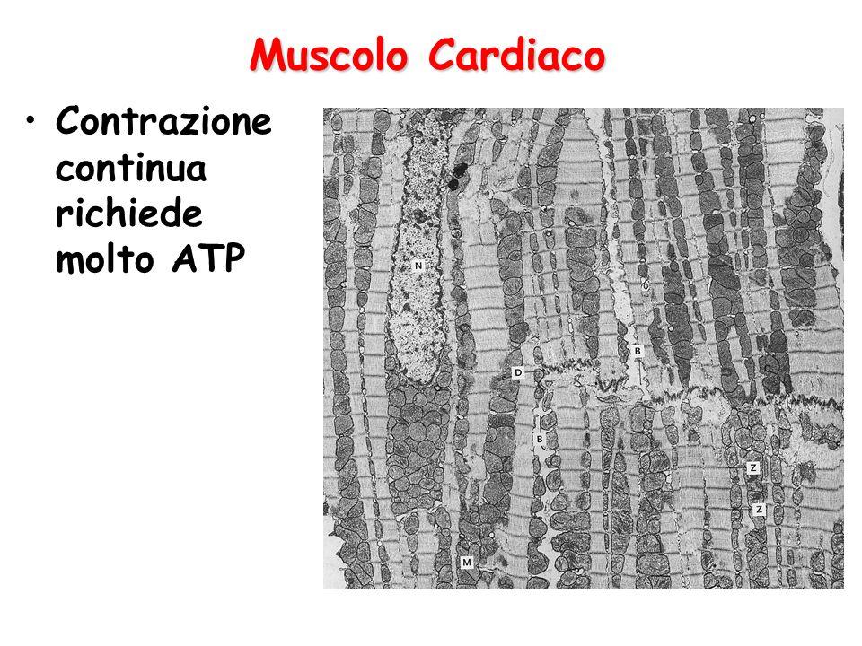 Muscolo Cardiaco Contrazione continua richiede molto ATP