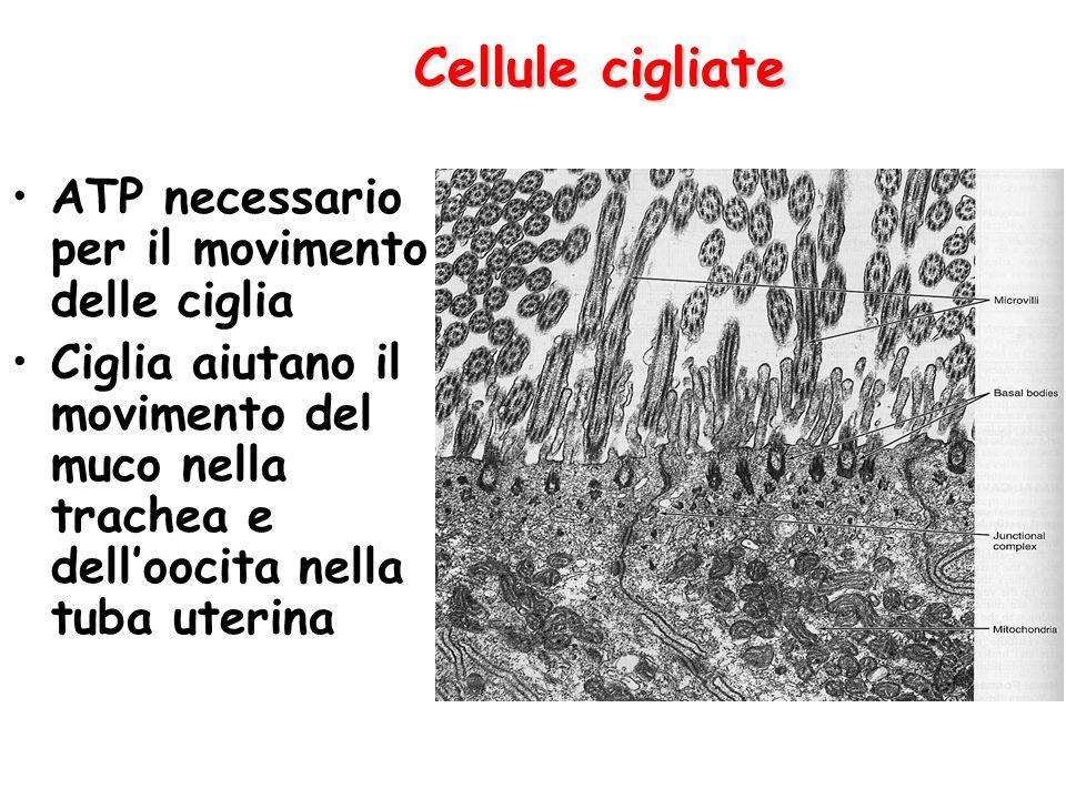 Cellule cigliate ATP necessario per il movimento delle ciglia Ciglia aiutano il movimento del muco nella trachea e dell'oocita nella tuba uterina