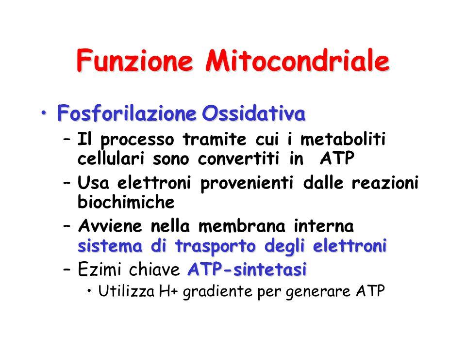 Funzione Mitocondriale FosforilazioneOssidativaFosforilazione Ossidativa –Il processo tramite cui i metaboliti cellulari sono convertiti in ATP –Usa e