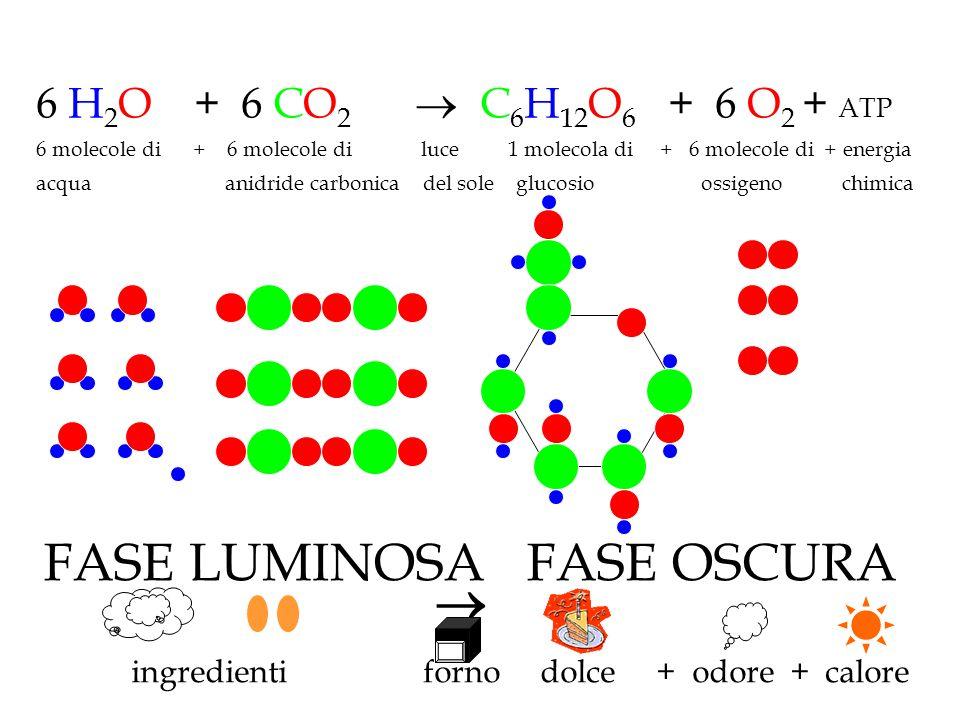 ingredienti forno dolce + odore + calore 6 H 2 O + 6 CO 2  C 6 H 12 O 6 + 6 O 2 + ATP 6 molecole di + 6 molecole di luce 1 molecola di + 6 molecole d