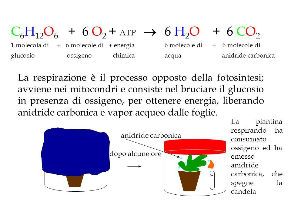 C 6 H 12 O 6 + 6 O 2 + ATP  1 molecola di + 6 molecole di + energia glucosio ossigeno chimica 6 H 2 O + 6 CO 2 6 molecole di + 6 molecole di acqua an